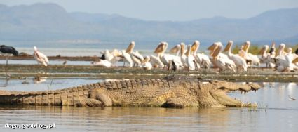 Crocodiles and pelicans, Chomo lake